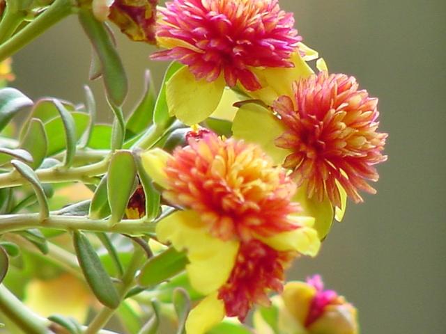 faieryflowers
