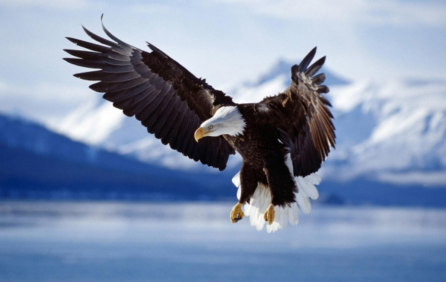 bald-headed-eagle-pictures