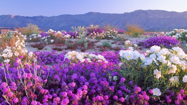 california-deserts-flowers