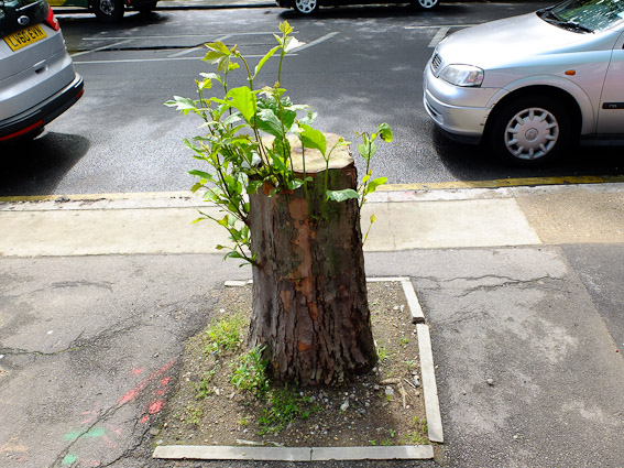 sprouting stump6